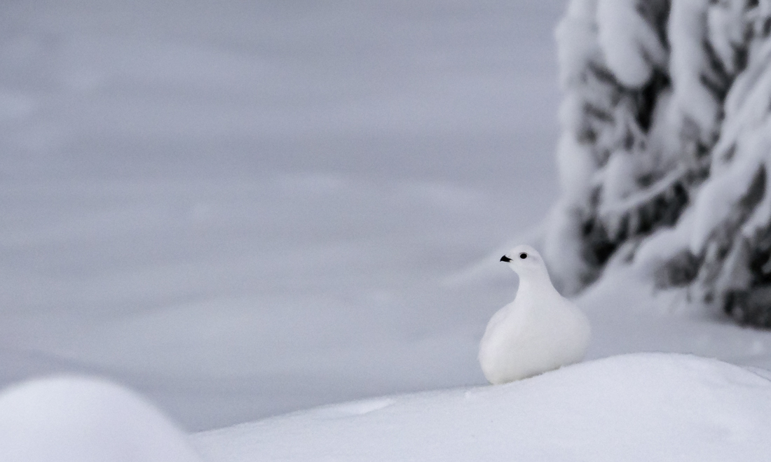 A white willow grouse on white snow.